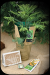 Order Your Wollemi Pine